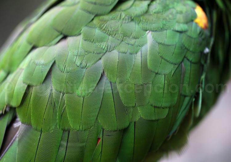 Amazone à front bleu
