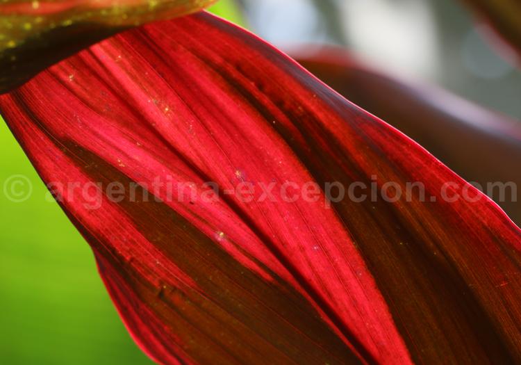 Fleurs tropicales, Iguazú