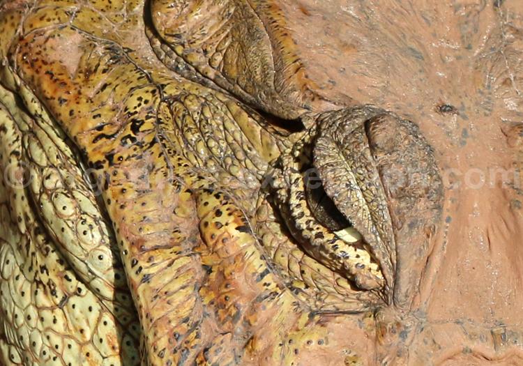 Reptile, Argentine