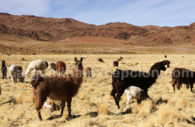 Lamas, Susques, Jujuy