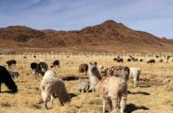 Troupeau de lamas, Susques