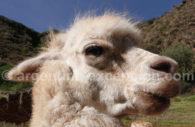 Camélidé de l'altiplano