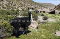 Lamas dans la vallée