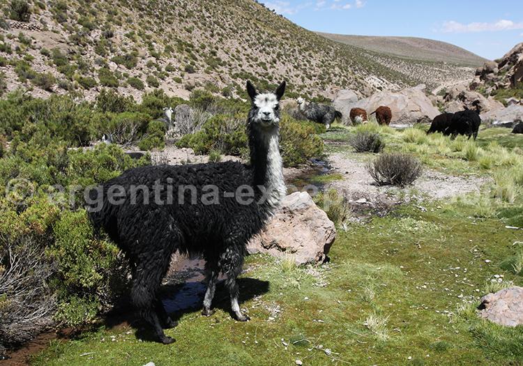 Caravane de lamas dans la vallée de Maimará