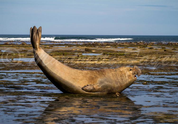 Mâle éléphant de mer