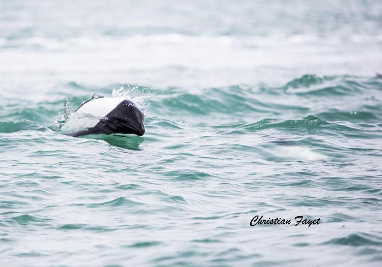 Orque, côte Atlantique, Argentine