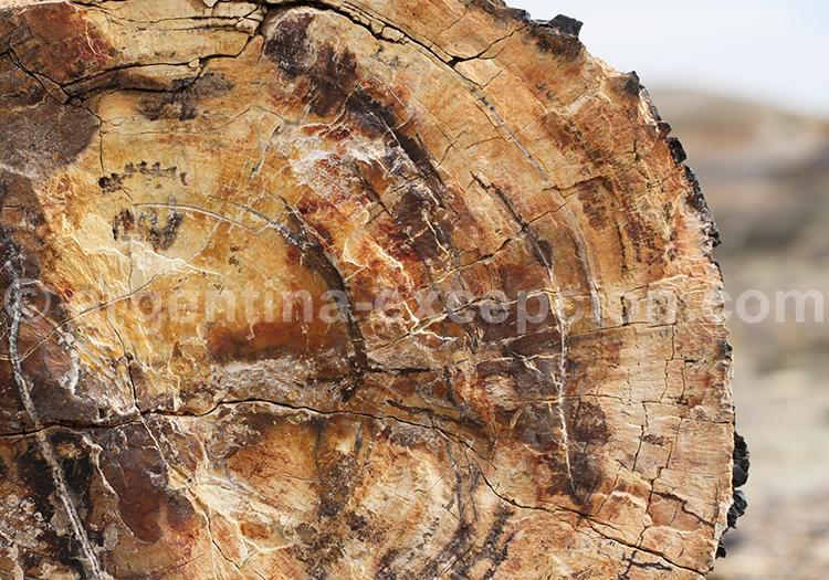 Bois fossilisé, Patagonie Argentine