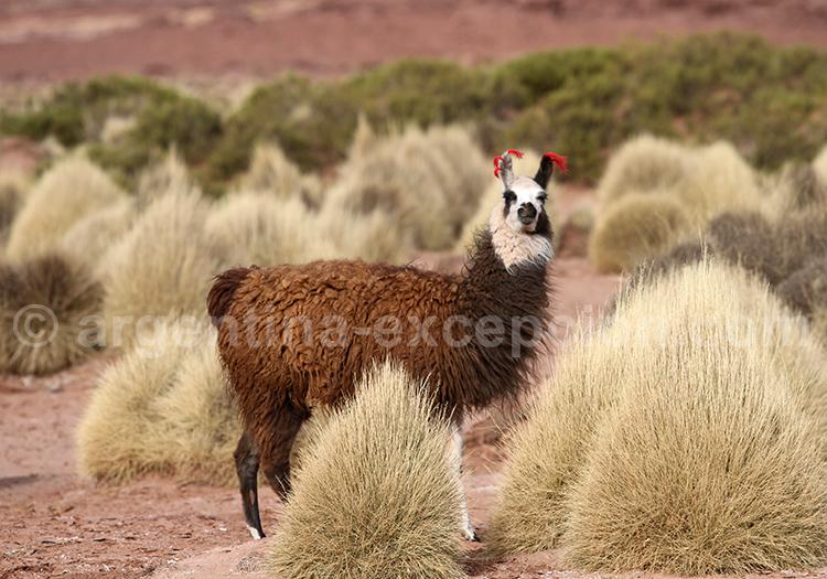 Faune de l'Altiplano