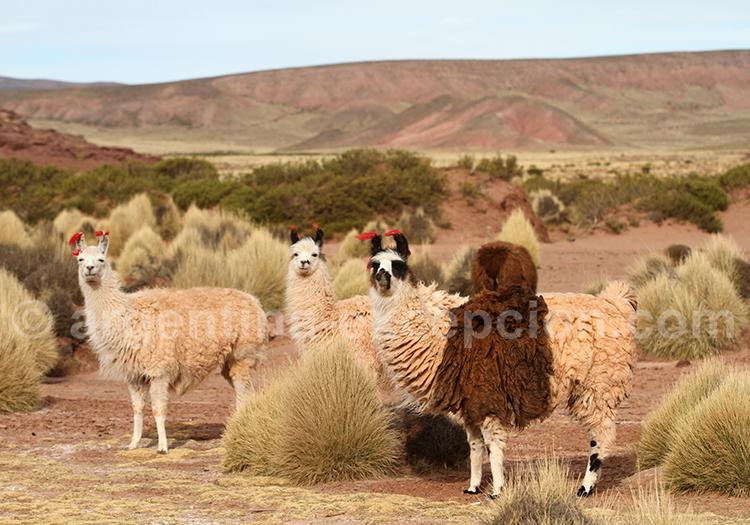 Camélidés des Andes