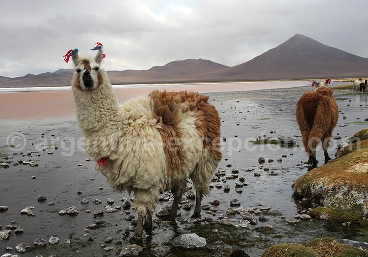 Lama Glama, Chili