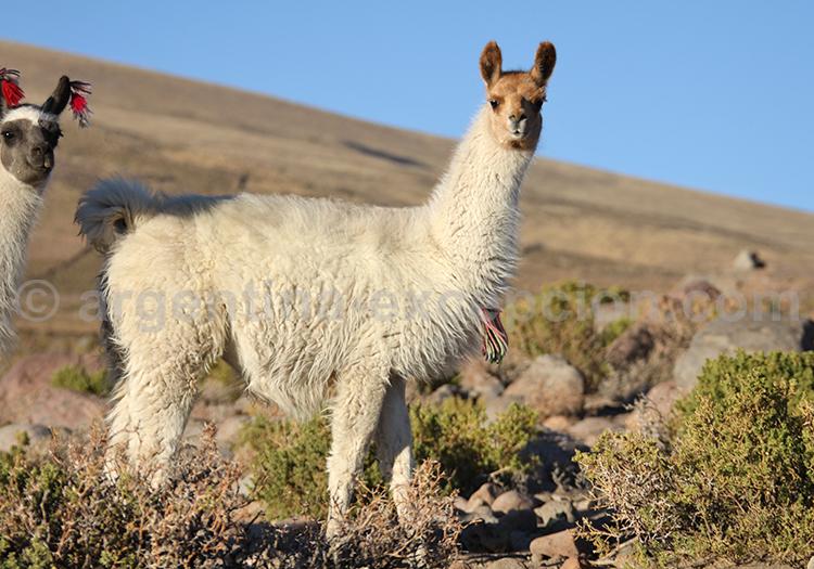 Portrait de lama, Argentine