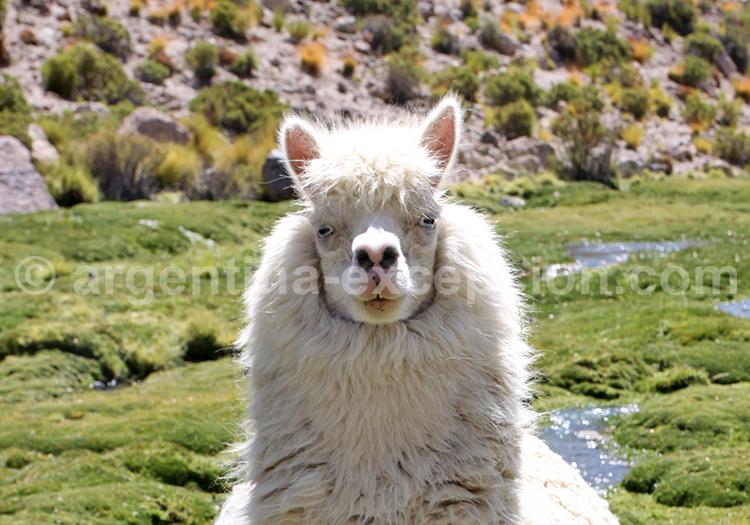 Camélidé, Andes, Argentine
