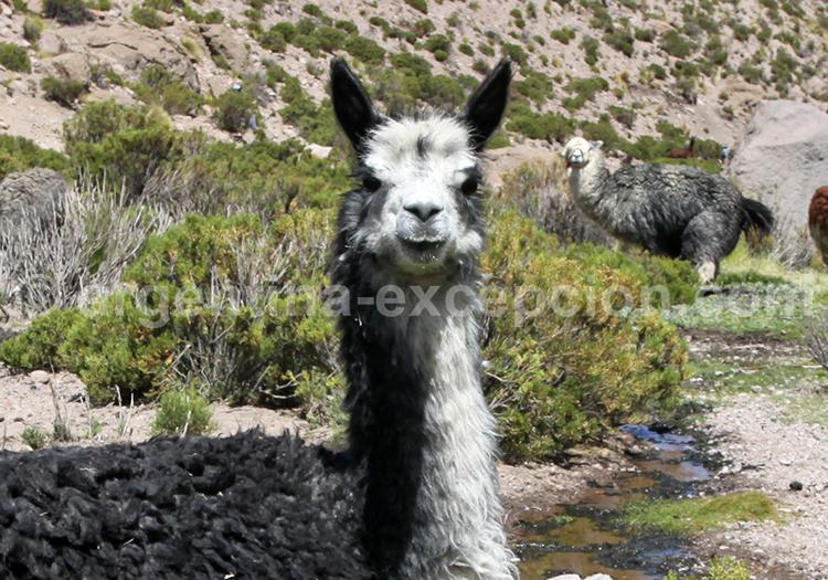 Faune de l'Altiplano, Argentine