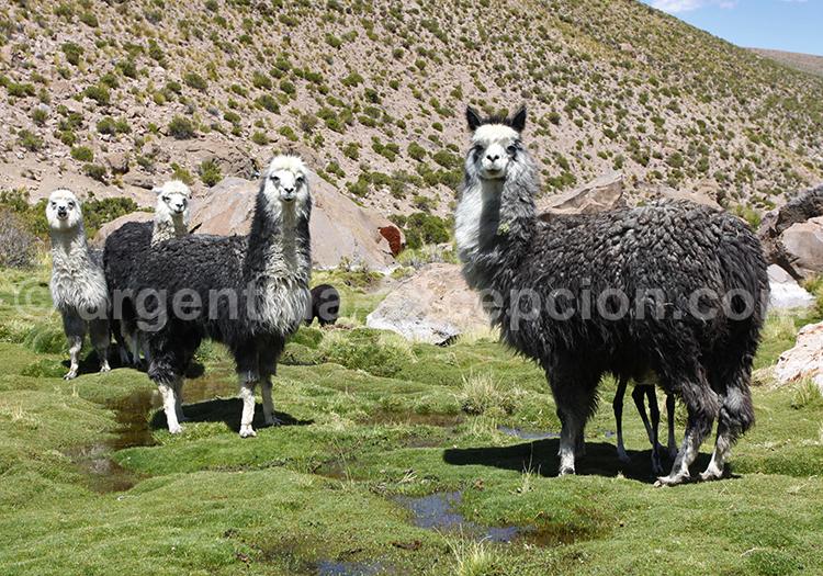 Troupeau de lamas, Argentine