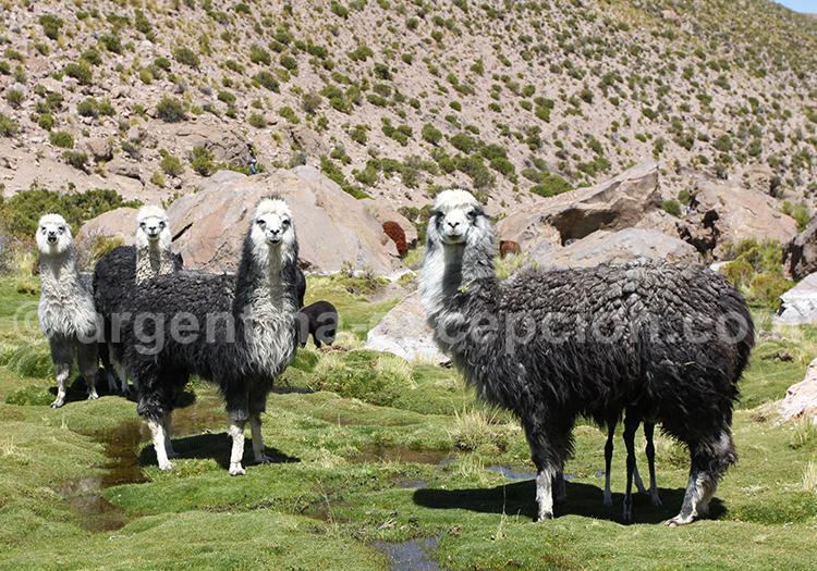 Lamas, Argentine