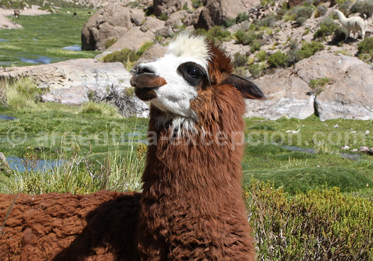 Lama Glama, Argentine
