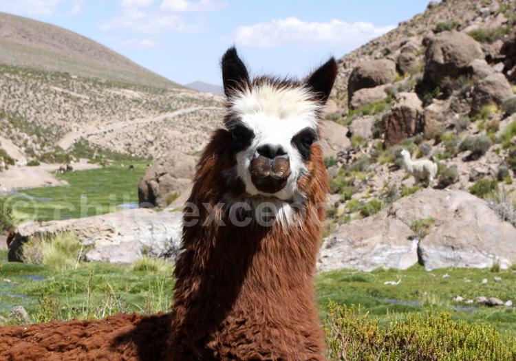 Faune terrestre de l'Altiplano