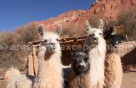 Lamas Nord-Ouest argentin