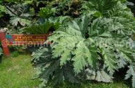 Plante rampante au Parc Nahuel Hapi