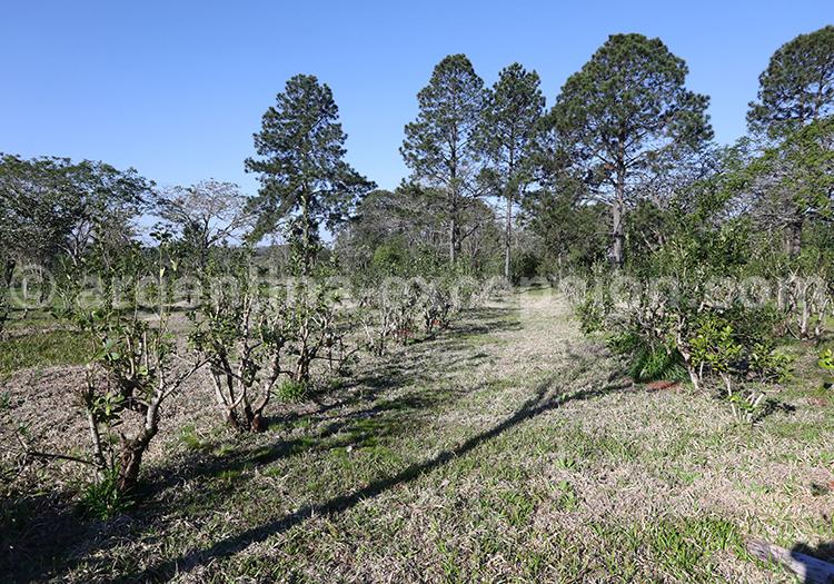 Plants de hierba maté, province de Misiones