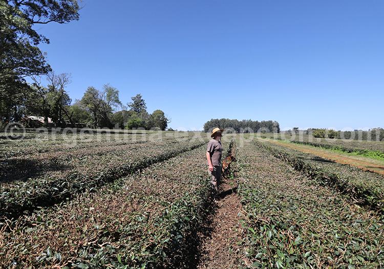 Plantation de thé, province de Misiones
