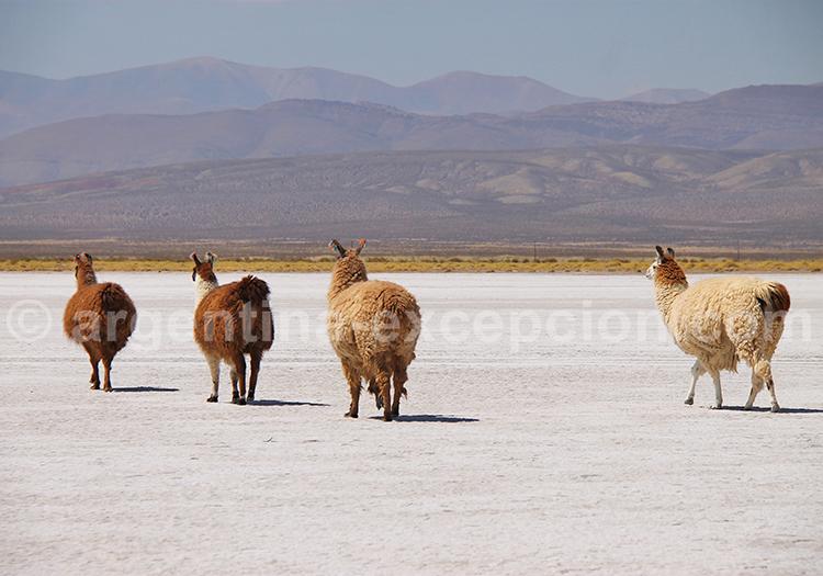 Caravane de lamas, Salinas Grandes