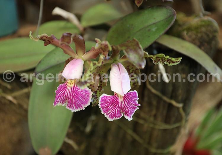 Orchidées de Montecarlo
