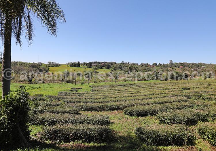 Plantation de thé, Misiones