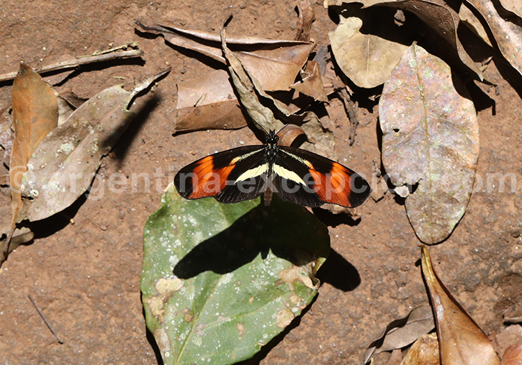 Les papillons de la province de Misiones