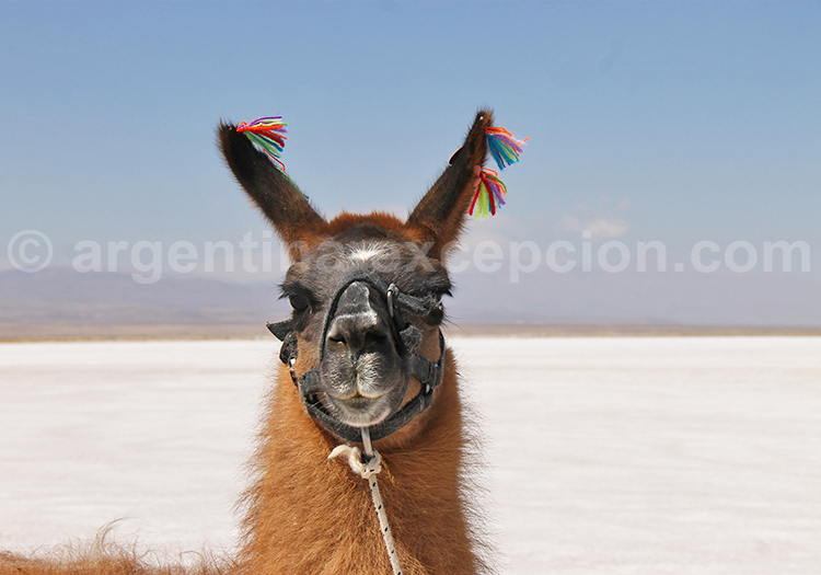Lamas, Salinas Grandes