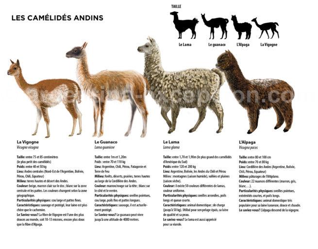 Infographie des camélidés en Argentine avec Argentina Excepción