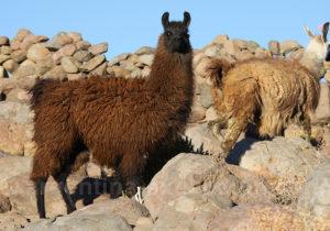 Lama Noroeste argentin