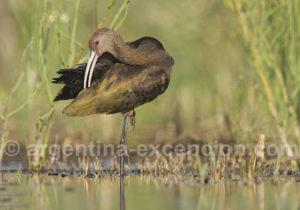 Ibis à face blanche, lagune Ibera