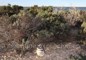 Manchot de Magellan parc marin de Patagonie