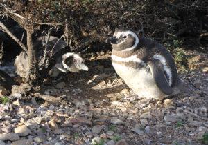 Manchots de Magellan Patagonie