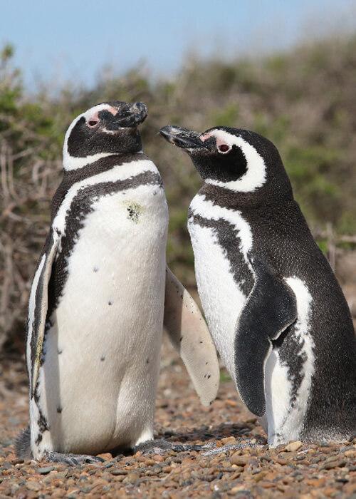 Ouverture saison manchot en Patagonie