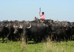 Un gaucho et son troupeau de buffles en argentine