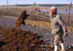 Tri des algues Bahia Bustamante