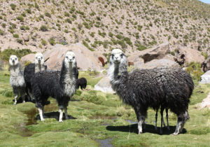 Lamas femelles et mâles