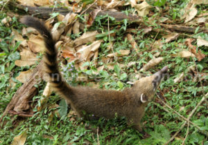 Coati, mammifère omnivore