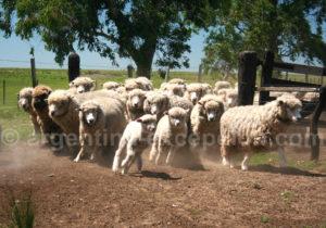 Troupeau de moutons, Corrientes