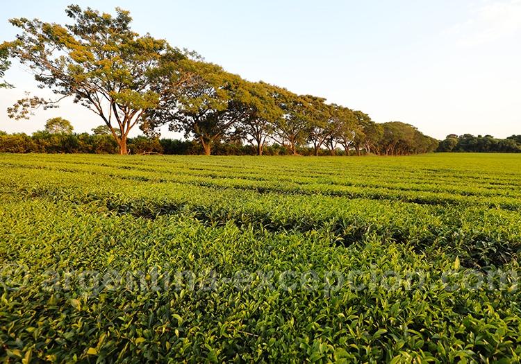 Culture du thé à Misiones, Argentine