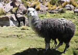 Mère lama et son enfant