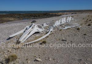 squelette de baleine Bahia Bustamante