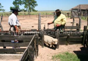 Gardiennage du troupeau, Estancia Buena Vista