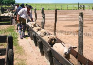 Agneau, Estanca Buena Vista