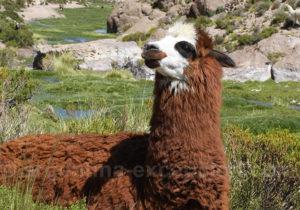 Lama à robe brune
