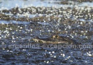 Yacaré émettant des vibrations dans l'eau, signaux visant à attirer les femelles, Esteros del ibera
