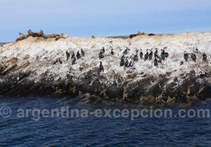 Cormorans et lions marins parc marin de Patagonie