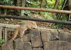 Bébé coati, parc Iguazu